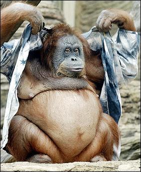 orangoutan